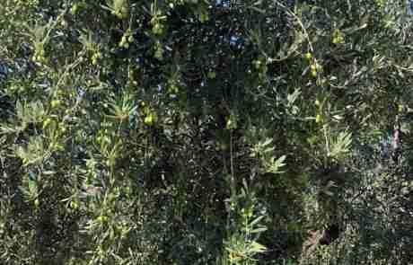 olive archibusacci