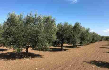 oliveti archibusacci